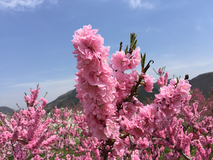 花ももの里写真
